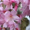 Picture of Prunus Superba H/W