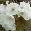 Picture of Prunus Tai Haku H/W 1.5m
