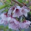 Picture of Prunus Te Mara