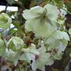 Picture of Prunus Ukon H/W 1.5m