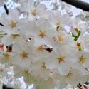 Picture of Prunus Yedoensis H/W 1.5m