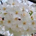 Picture of Prunus Yedoensis H/W 1.8m