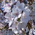 Picture of Prunus Yedoensis Perpendens H/W 1.8
