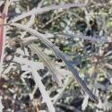 Picture of Pseudopanax Bronze Eagle