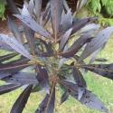 Picture of Pseudopanax Dark Star