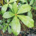 Picture of Pseudopanax Lessonii