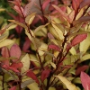 Picture of Pseudowintera Red Glow