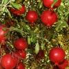 Picture of Punica Granatum Wonderful