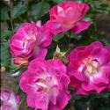Picture of Purple Pizzazz-Rose