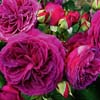 Picture of Purplelicious Std 80cm-Rose