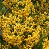 Picture of Pyracantha Shawnee