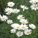 Picture of Daisy Pyrethrum