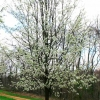 Picture of Pyrus Calleryana Aristocrat
