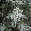 Picture of Pyrus Salicifolia Pendula H/W 1.5m