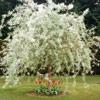 Picture of Pyrus Salicifolia Pendula H/W 1.7m