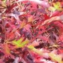 Picture of Quercus Palustris