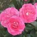 Picture of Quintessential Std 80 cm-Rose