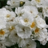 Picture of Rambling Rector-Rose