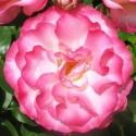 Picture of Raspberry Ice Std 90cm-Rose