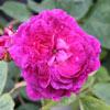 Picture of Reine des Violettes-Rose