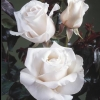 Picture of Remember-Rose