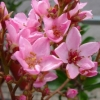 Picture of Rhaphiolepis Apple Blossom