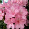 Picture of Rhododendron Alice