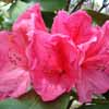 Picture of Rhododendron Anna Rose Whitney