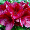 Picture of Rhododendron Black Sport