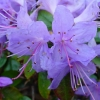 Picture of Rhododendron Blue Diamond