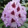 Picture of Rhododendron Blue Peter