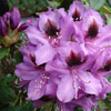 Picture of Rhododendron Bumble Bee
