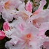 Picture of Rhododendron Charisma