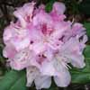 Picture of Rhododendron Cheer