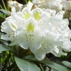 Picture of Rhododendron Chionoides