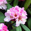 Picture of Rhododendron Christmas Cheer
