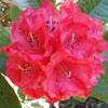 Picture of Rhododendron Cornubia