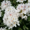 Picture of Rhododendron Cunninghams White