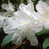Picture of Rhododendron Dora Amateis
