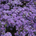 Picture of Rhododendron Glenfalloch Blue