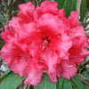 Picture of Rhododendron Grace Seabrook