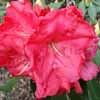 Picture of Rhododendron Halfdan Lem