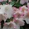 Picture of Rhododendron Harry Tagg