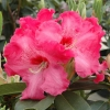 Picture of Rhododendron Hearts Delight