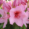 Picture of Rhododendron Helen Johnson