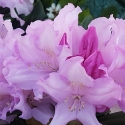 Picture of Rhododendron Hoppy Dwf