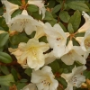 Picture of Rhododendron Ken Burns