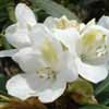 Picture of Rhododendron Lemon Ice