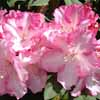 Picture of Rhododendron Lems Monarch