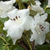 Picture of Rhododendron Lucy Lou